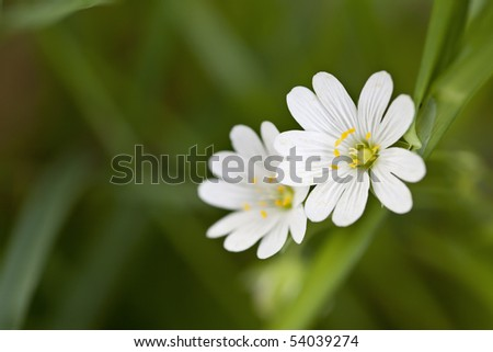 Closeup of Chickweed