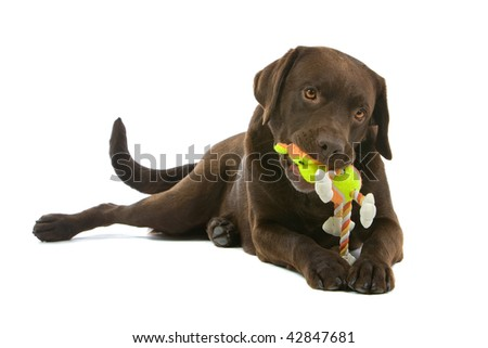 Closeup of chocolate Labrador toy chewing rope toy, isolated on white background.