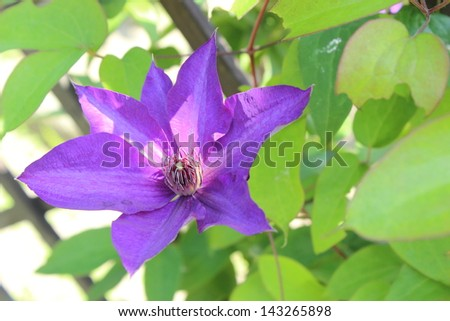 Closeup of clematis on green leaves background in a sunny garden