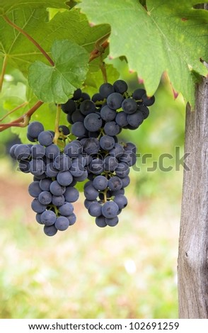 Closeup of clusters of ripe blue grapes on a vineyard