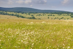 Closeup of colorful blooming meadow, distant wooded ridge on horizon. Various blooming flowers, mostly ox-eye daisies, on meadow, Bile Karpaty mountains, Czech Republic.