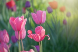 Closeup of colorful blooming tulips in fresh green field or meadow, copy space for text
