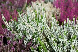 Closeup of colorful blossoming of heather (Calluna vulgaris) cultivated in hothouse..