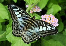 Closeup of colorful Blue Clipper butterfly (Parthenos sylvia) with  lilac blue markings on its open wings. This large butterfly is commonly found in southeast Asia.
