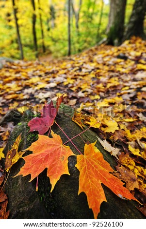 Closeup of colorful fall maple leaves on forest floor