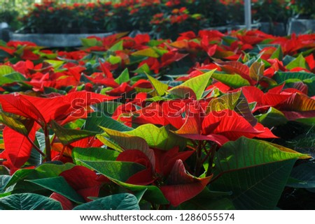 Closeup of colorful flowering Poinsettias pulcherrima plants
