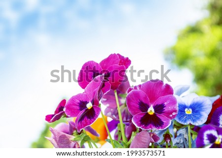 Closeup of colorful pansy flower. Summer landscape