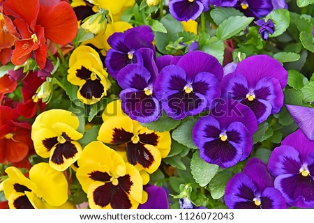 Closeup of colorful pansy flower, The garden pansy is a type of large-flowered hybrid plant cultivated as a garden flower. This image was blurred or selective focus.