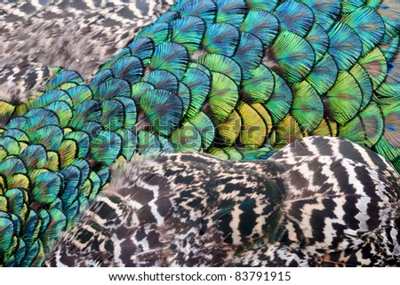 Closeup of colorful peacock feathers