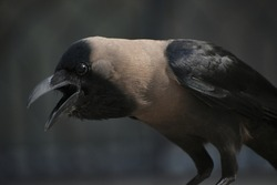 closeup of commonly found bird crow or raven.