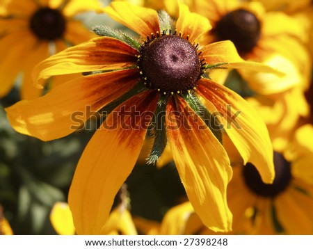 Closeup of cone-flower flower (Compositae, Rudbeckia)