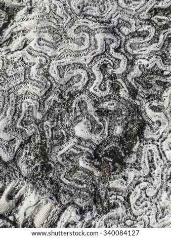 Closeup of coral fossils on a large rock in the Florida Keys, for illustration or background with themes of nature, evolution, marine environments