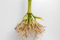 Closeup of cornstalk root system of corn plant isolated on white background. Concept of agriscience, agronomy, GMO and biotechnology