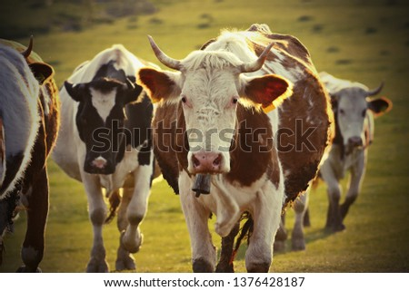 closeup of cows in rural area, herd of domestic animals #1376428187