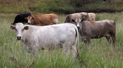 Closeup of cows in white, black and brown cows in field in Central Queensland, Carnarvon Gorge, Australia surrounded by green grass