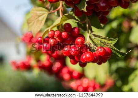 Closeup of Cranberry ripe on a bush. Authentic farm series.