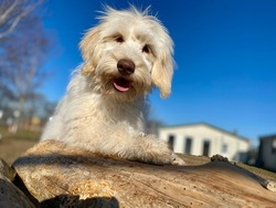 Closeup of cream colored golden doodle puppy playing outside, canine enrichment, adorable dog