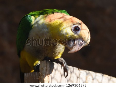 Closeup of curious Amazon parrot taking sunbath in an aviary #1269306373