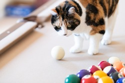 Closeup of curious calico cat walking, standing on top of billiard, pool table, striking, breaking with paw white ball, game of snooker, balls set in living room of home, house, apartment