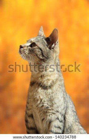 closeup of curious striped cat over beautiful colors of autumn forest background