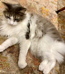 Closeup of Cute, Fluffy, White Maine Coon Cat Relaxing on top of Patterned, Antique Rug