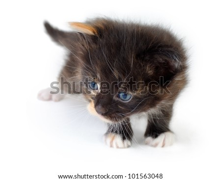closeup of cute small black kitten, over white background