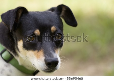 Closeup of cute terrier dog with beautiful brown eyes