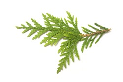 Closeup of cypress leaf on white background