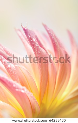 Closeup of dahlia flower macro studio shot