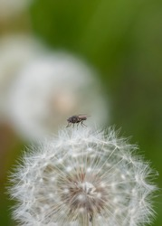 Closeup of dandelion gone to seed with house fly landed on top. Green grass bokeh background. Dandelion life cycle.