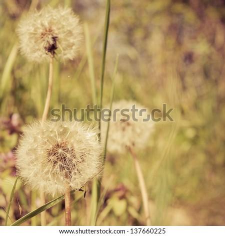 Closeup of dandelion outdoors - stock photo