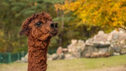 Closeup of darkbrown alpaca head.