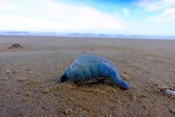 Closeup of dead blue jellyfish on the beach, 90 mile beach, New Zealand