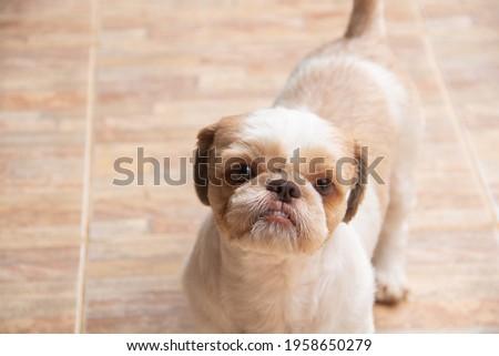Closeup of dog looking at something - Em português: Close do cachorro olhando algo. Foto stock ©