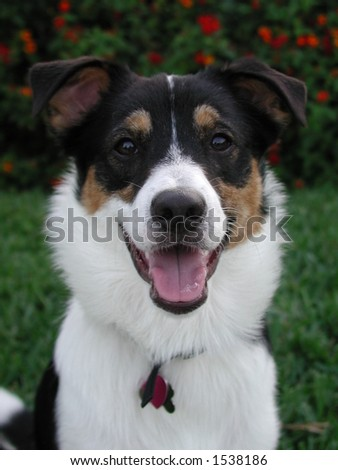Closeup Of Dog'S Face. Australian Shepherd/Collie Mix. Stock Photo ...