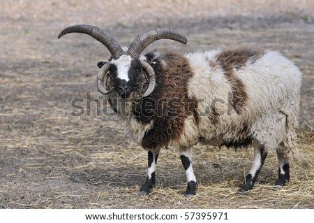 Closeup of domestic Jacob sheep (Ovis aries) with spectacular horns #57395971