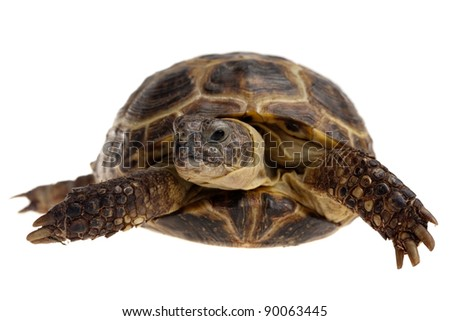closeup of domestic tortoise isolated on white