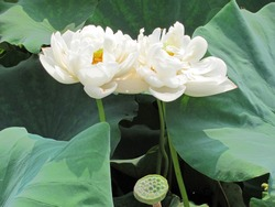 Closeup of double blooming white lotus flower growing on tall peduncles, surrounded by green round lotus leaves, with a lotus seedpod, under sunshine in summer in China