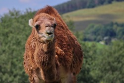Closeup of Dromedary Camel also called Somali or Arabian Camel in Czech Farm Park. Camelus Dromedarius is a Large Even-Toed Ungulate with One Hump on its Back.