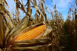 Closeup of dry corn cob ready for harvest.