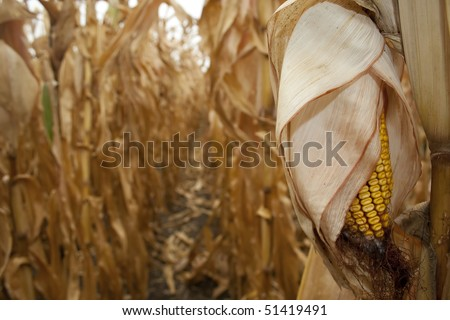 Closeup of dry corn cob ready for harvest