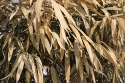 Closeup of dry golden bamboo leaves
