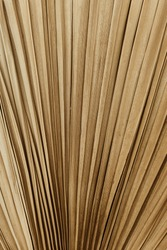 Closeup of dry tropical palm leaf isolated patter background. Minimal floral texture composition.