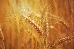 Closeup of ears of golden wheat on the field