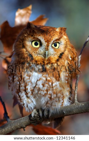Closeup of Eastern screech owl in red phase for Fall