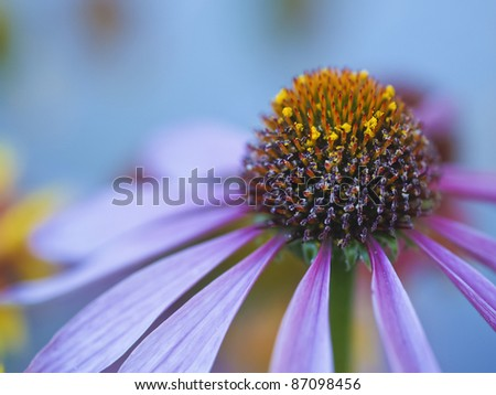 closeup of Echinacea flower on blue background