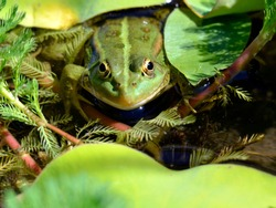 Closeup of edible frog (Pelophylax kl. esculentus) in a water among aquatic plants seen from front