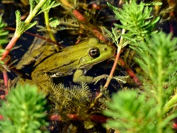 Closeup of edible frog (Pelophylax kl. esculentus) in a water among aquatic plants seen from profile