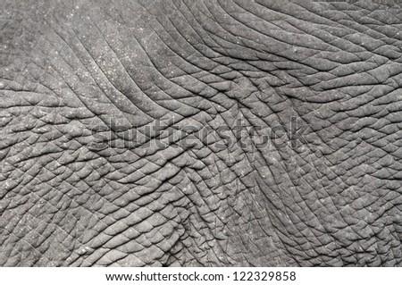 Closeup of elephant skin wrinkle detail