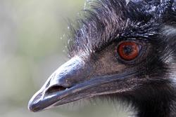 Closeup of emu bird
